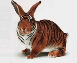 bengal-rabbit-tiger-bunny-closeup